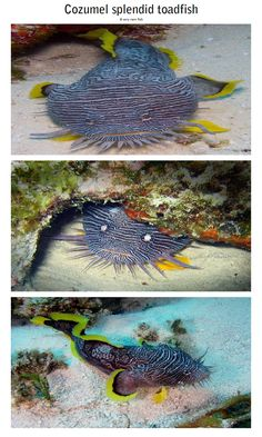 Cozumel splendid toadfish (yes, splendid is a noun here, not an adjective) - a very rare fish found only in Cozumel island of Mexico. It is the most colorful toadfish of the world.