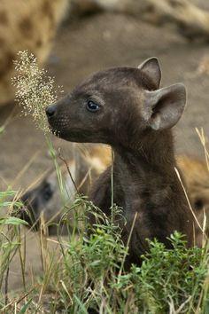 Baby hyena (the age of innocence) by Len Webb