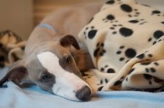 Snoozy whippet puppy by j_car81, via Flickr