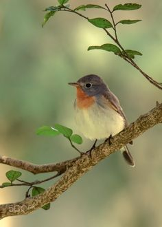 Red breasted Flycatcher (Ficedula parva) - Migrant visitor on a foggy winter morning