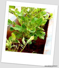 Urban Edens: growing potatoes