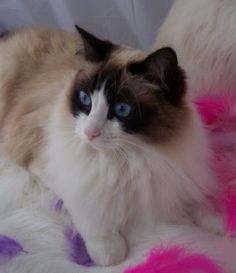 This seal bicolor Ragdoll cat reminds me a LOT of my Tanzi!