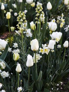 Creamy DreamIvory Bells fritillaria looms over a combination of White Lady daffodils and a mix of white tulips including Spring Green Pays Bas Maureen Sapporo and White P. Tulips Garden, Parrot Tulips, Garden Bulbs, Daffodils, Planting Flowers, Fruit Garden, White Tulips, White Flowers, Exotic Flowers