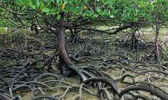 Mangrove Trees are super fascinating and very important in the WhyNot world