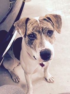 07/14/16-Gypsy is an adoptable Plott Hound searching for a forever family near Hagerstown, MD. Use Petfinder to find adoptable pets in your area.