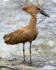 Hamerkop by Graeme Guy - Lake Baringo, Kenya The Hamerkop is a medium sized wading bird. The shape of its head with a curved bill and crest at the back is reminiscent of a hammer, hence its name. It ranges from Africa, Madagascar to Arabia, in wetlands of