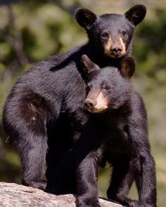 Cute bear cubs found in the Smoky Mountains.