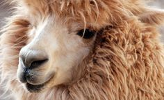 Alpaca - why it's eco friendly and how to care for it (VERY gently!!!!)