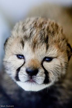 Five Cheetah cubs have been receiving critical care in the Cincinnati Zoo's nursery since they were born on March 8. The cubs were born via C-section, to mom Willow, at the Cincinnati Zoo & Botanical Garden's Cheetah Breeding Facility. Their mother did not survive, and the cubs have been receiving care from Zoo staff and Nursery Dog--Blakely. Check out ZooBorns to learn more! http://www.zooborns.com/zooborns/2016/03/nursery-dog-cares-for-orphan-cheetah-cubs.html