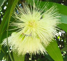 Jambo - Rose Apple flowers (Syzygium jambos) parque ceret sao paulo Brazil. A Southest Asia native tree by mauroguanandi, via Flickr