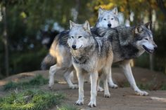 Washington State To Kill Entire Pack Of Wolves Following Easily Avoidable Cattle Attacks AnonHQ