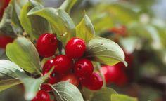 Die roten Früchte der Kornelkirsche (Cornus mas) lassen sich zu Gelee und Likör…