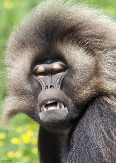 Gelada Baboon | Gelada baboon | Flickr - Photo Sharing!