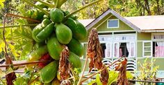 Our home stays are built in a traditional methods using locally available materials and local expertise. These home stays are owned and managed by the families. The vegetables we eat are all organic home grown or brought from the local village markets. #sustainable #sustainability #sustainableliving #organic #organicfood #golocal #naturelover #vegetarian #vegan #yoga #greenliving #homestay #bbctravel #lonelyplanet #dzo_journey #sikkim #himalayas #mountainlife #villagelife Re-post by Hold…