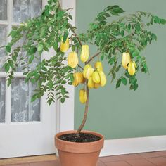Star Fruit 'Maher Dwarf' (Averrhoa carambola) this tree will flower and fruit once it reaches a height of 1 1/2-2 ft tall