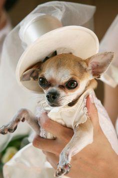 chihuahua with a top hat Cute Chihuahua, Chihuahua Puppies, Cute Puppies, Cute Dogs, Dogs And Puppies, Chihuahuas, Chihuahua Clothes, Pomeranians, Wedding Guest Etiquette
