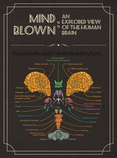 Mind Blown: An Exploded View of The Human Brain Infographic via visual. Brain Anatomy, Anatomy And Physiology, Human Anatomy, Info Board, Brain Science, Brain Injury, Brain Health, Mind Blown, Mindfulness