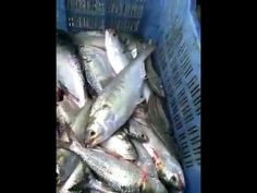 Hilsa Llish Fish Alive (জ্যান্ত ইলিশ দেখে নিন)