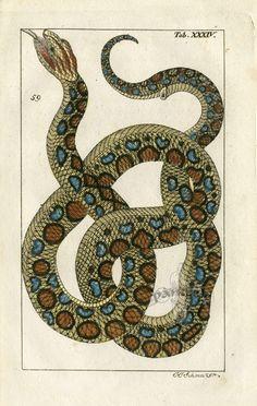Wilhelm Natural History Reptile & Amphibian Prints 1810