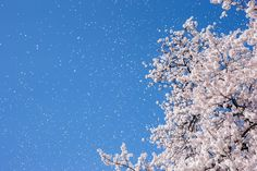 blossoms_2