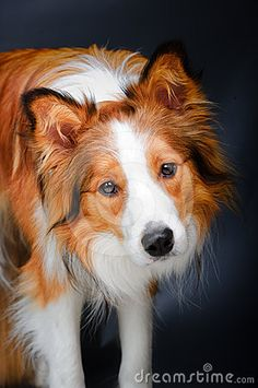 Sable Border Collie