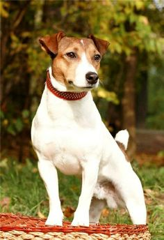 I WANT A JACK RUSSELL TERRIER  SOOOO BABLY!!!!!!!!!!!!!!!!!!!!!!!!!!!!!!!!!!!!!!!!!!  <3