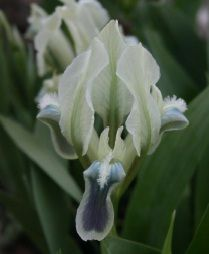 Iris pumila 'Keystone Oracle'