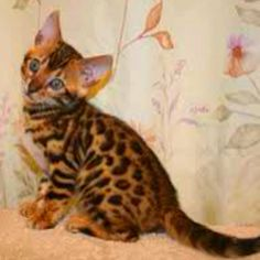 I want a Bengal kitten one day!