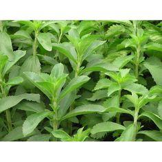 STEVIE REBAUDIANA Stevia, Herbs, Herb, Medicinal Plants