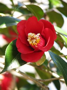 Camellia japonica 'Bokuhan' ボクハン (Japan, by 1719) #椿#ツバキ#Camellia