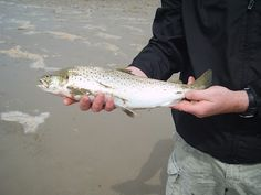 Beautiful sea trout are plentiful on the Isle of Islay off Scotland's West Coast