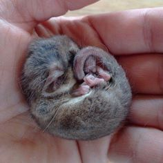 The Tasmanian pygmy possum is the world\'s smallest possum. Adults are around 7 centimetres in head to body length- and weigh just 7 to 10 grams