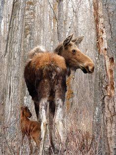 Beautiful mama moose and baby in Elk Island National Park, Alberta, Canada