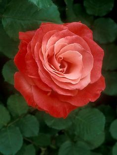 Beautiful heritage Artistry Rose