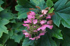 Eikenbladhortensia (Hydrangea quercifolia) - Sony A65 + Tair 11A 135mm f/2.8