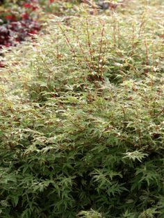 Japanese Maple 'Butterfly' • Acer palmatum 'Butterfly' • Plants & Flowers • 99Roots.com