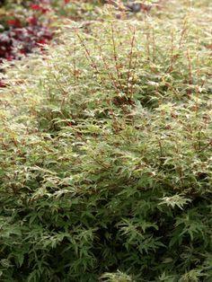 Fächer-Ahorn 'Butterfly' • Acer palmatum 'Butterfly' • Pflanzen & Blumen • 99Roots.com