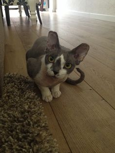 Our Devon Rex cat, named: Elvis of the Blue Monday (age 11 months) He is sóóó cute. Devon Rex Cats, Age, Animals, Animales, Animaux, Animal, Animais