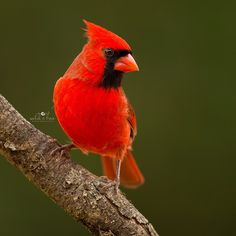I wish this male Cardinal was sitting on top of my Christmas tree!  Have a great weekend, everyone!❤️