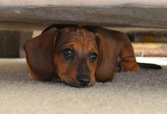 Miniature dachshund puppy - 8 weeks old and full of energy. This guy is the cutest ever.