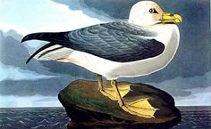 Robert Havell after John James Audubon -Fulmer Petrel - 1835 -. Happy Bird Day, John James Audubon, Newfoundland, Fishing Boats, Coastal, Wildlife, Ocean, Birds, Cartoon