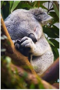 sleepy baby koala. For my best bud who I know has a love for them.