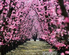 I LOVE this photo......and living in the fruit belt of Michigan, it has given me a TON of inspiration.......Pink Flower Tree Path Photo peach tree by NatureVisionsToo on Etsy, $40.00