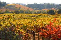 Fall in Sonoma County | Vinyards in the Fall - Dry Creek Valley, Sonoma County