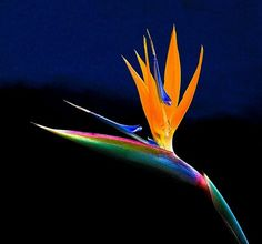Estrelícia / Bird of paradise (Strelitzia reginae) 2 by Valcir Siqueira, via Flickr