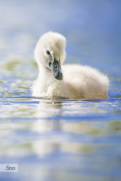 Swans baby by Zdenek Jakl on 500px
