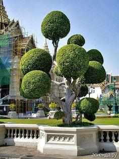 Живые изгороди, украшенные шарами, пирамидами и конусами, зеленые ступени, арки и колонны, сложные скульптурные формы не теряют популярности в течение сотен лет...