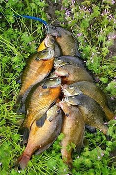 Learn how to find and catch bluegills all year long, with proven tips and tactics