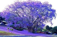 Vibrant Blue, Jacaranda Tree, Kona, Hawaii - my favorite color and nature Beautiful World, Beautiful Places, Beautiful Pictures, Beautiful Mess, Kona Hawaii, Hawaii Trips, Flowering Trees, Amazing Nature, Trees To Plant