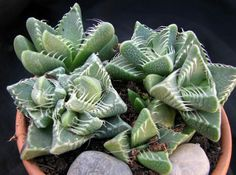 faucaria tigrina Cacti And Succulents, Planting Succulents, Magic Store, Super Natural, Bonsai, Witch, Gardening, Birthday, Party